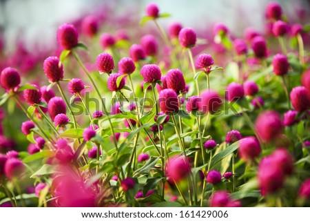 globe amaranth Flower - stock photo