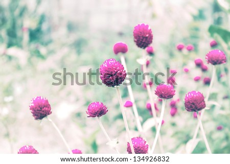 Globe Amaranth Flower  For  Spring Vintage Background - stock photo