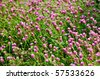Globe amaranth or Gomphrena globosa fading into the background. - stock photo