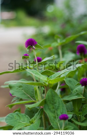 Globe amaranth or Gomphrena globosa flower in the garden