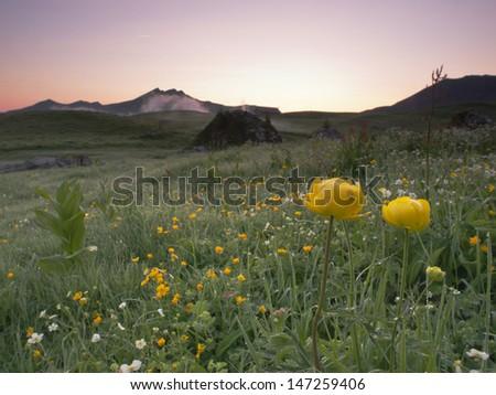 Globeflower, Trollblume (Trollius europaeus) in an alpine landscape - stock photo