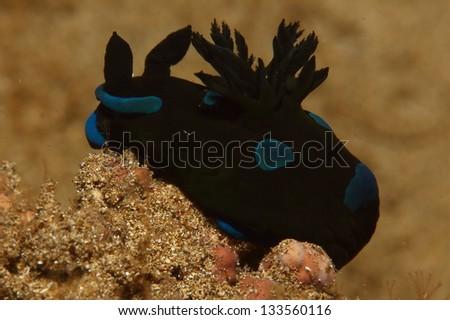 Gloomy Nudibranch (Tambja morosa). - stock photo