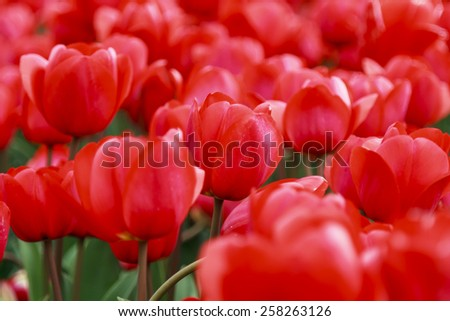 Glorious array of red tulips close-up in the flower fields of Holland - stock photo