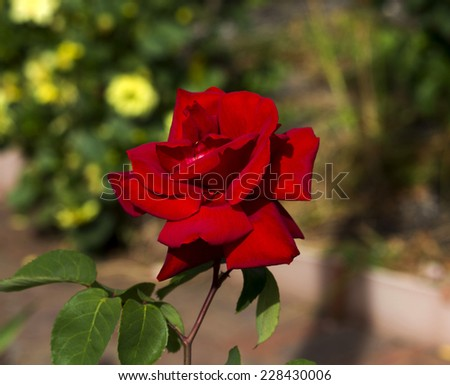 Glorious blooms of a red   exhibition  hybrid tea rose  add sweet fragrance to the urban landscape  and is a romantic symbol  world wide for  ardent valentines - stock photo