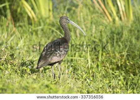 Glossy Ibis at Ritch Grissom Memorial Wetlands near Melbourne, Florida. - stock photo