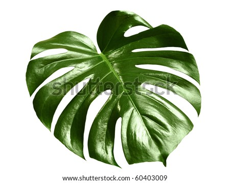 glossy monstera leaf isolated on white background with clipping path - stock photo