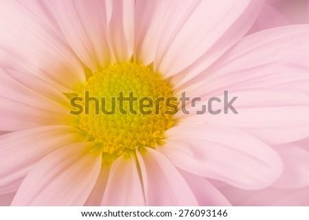 Glowing Purple Daisy Flower - stock photo