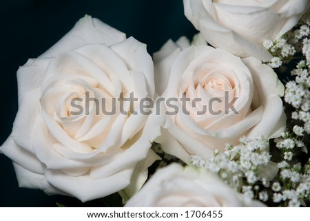 glowing white roses