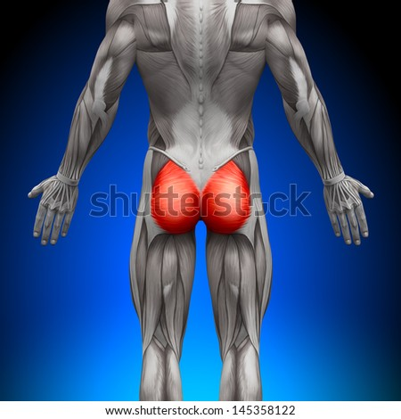Glutes / Gluteus Maximus - Anatomy Muscles - stock photo