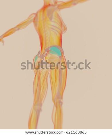 Gluteus Medius Female Muscle Anatomy 3 D Stock Illustration ...