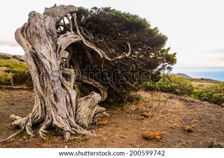 Gnarled Juniper Tree Shaped By The Wind at El Sabinar, Island of El Hierro - stock photo