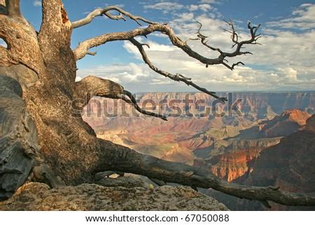 Gnarled Pine - North Rim of Grand Canyon, Arizona - stock photo