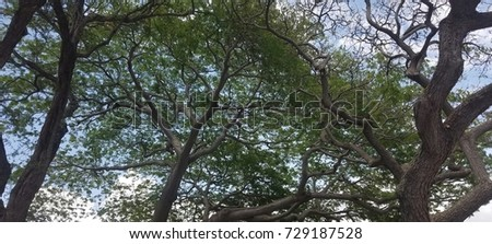 gnarled trees with thick canopy of leaves. Washington state native tree & Gnarled Trees Thick Canopy Leaves Washington Stock Photo 729187528 ...