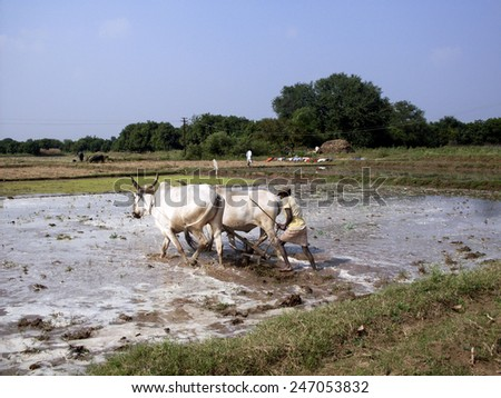 GOA, INDIA - November 29 : Farmers plowing agricultural field in traditional way where a plow is attached to bulls on November 29, 2010 in Goa, India. - stock photo