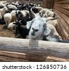 Goat and sheep grazing - stock photo