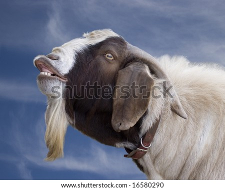 goat braying or smiling - stock photo