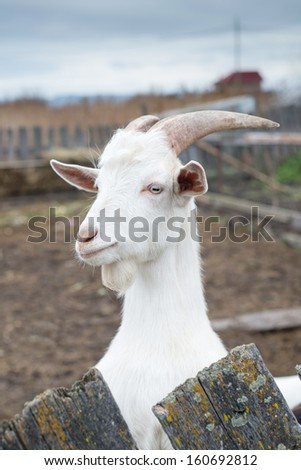 Goat close-up on the farm  - stock photo
