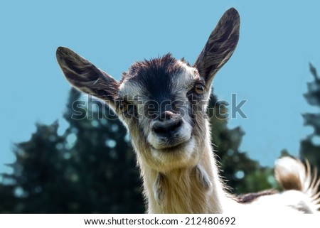 Goat closeup staring into the lens - stock photo