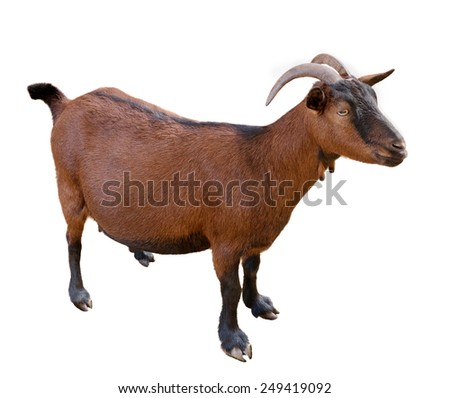 goat. domesticated, brown color. top view. Isolated over white background - stock photo