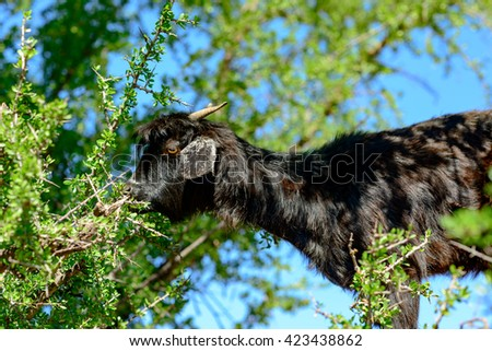 Goat eating from an Argan tree in southern Morocco. - stock photo