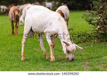 goat eats the grass goat eating a grass goat on