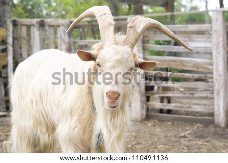 goat farm - stock photo