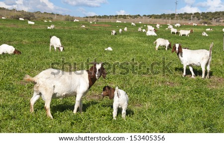 Goat farming in the Karoo � South Africa - stock photo