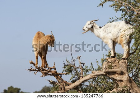 Goat feeding in argan tree. Marocco - stock photo