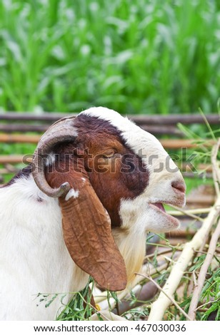 goat for agriculture