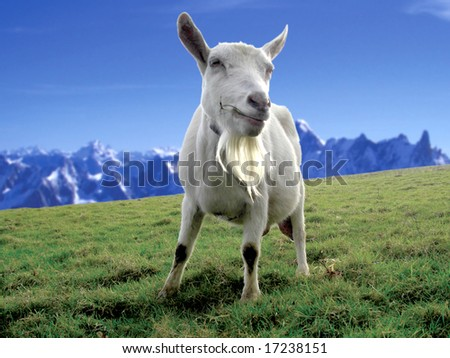 goat grazing in a field on a mountain - stock photo