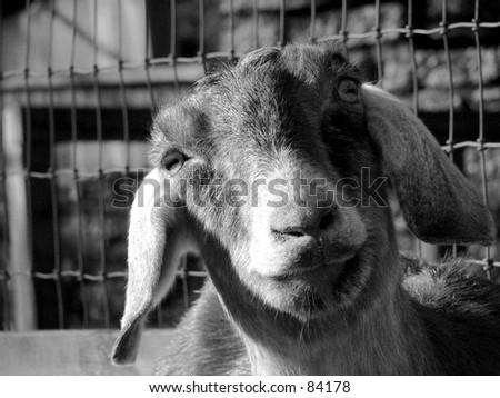 goat head black and white - stock photo