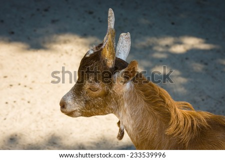 Goat head close-up. - stock photo