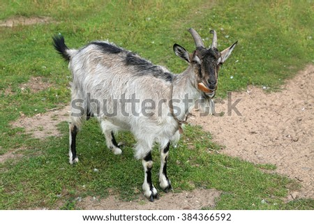 Goat home. Shooting outdoors, farm animals. - stock photo