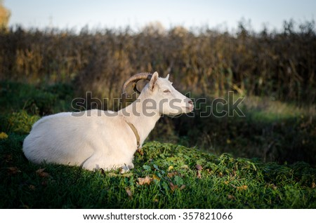 Goat in the autumn scenery