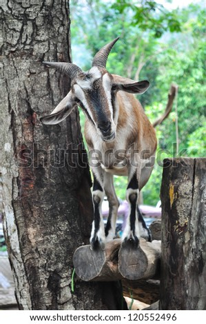 Goat in the open zoo waiting for food from tourists. - stock photo