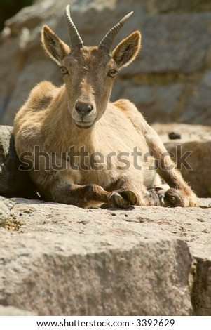 goat is resting on the stone - stock photo