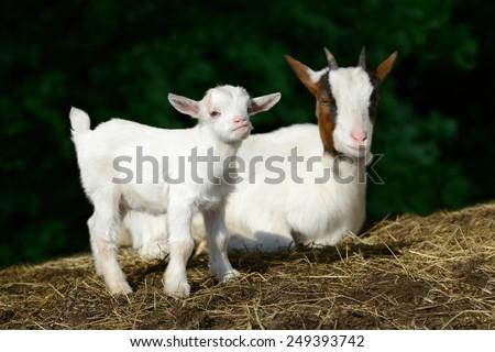 goat kid - stock photo