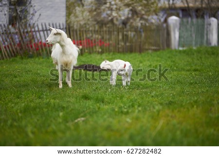 Goat kids on green grass