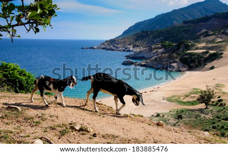 Goat near the beach in Ninh Thuan, Vietnam