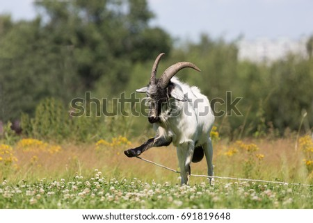 stock-photo-goat-on-a-leash-on-in-summer
