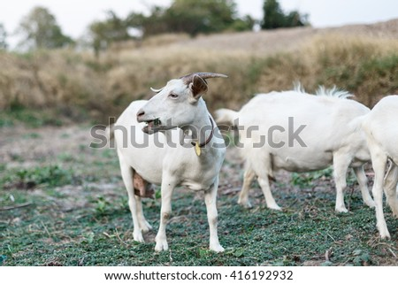 Goat on a pasture in Thailand