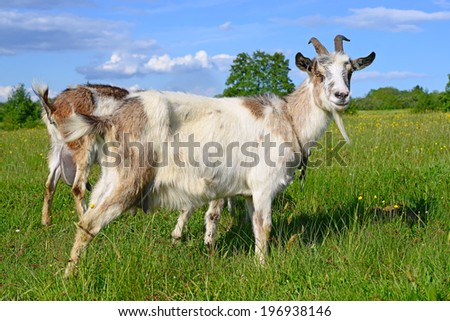 Goat on a summer pasture - stock photo
