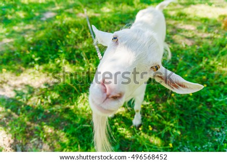 Goat on green field sunny day. Animal portrait close wide corner