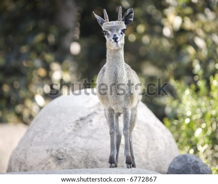 Goat on rock - stock photo