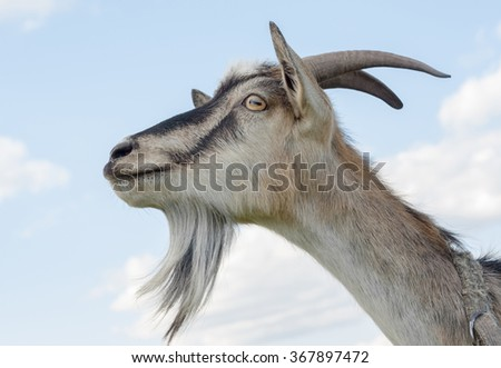 Goat on the blue sky background