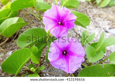 Goat's Foot Creeper or Beach Morning Glory:select focus with shallow depth of field:ideal use for background. - stock photo