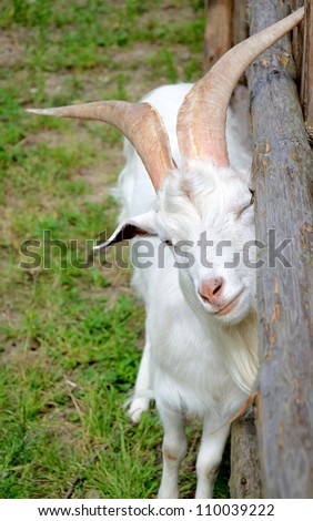 Goat scratch oneself against wooden fence - stock photo