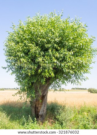 Goat willow (Salix caprea) is a common species of willow native to Europe and western and central Asia. - stock photo