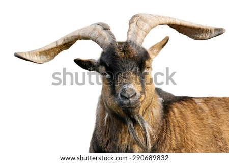 Goat with impressive horns and brown fur looking into the camera, isolated on white background