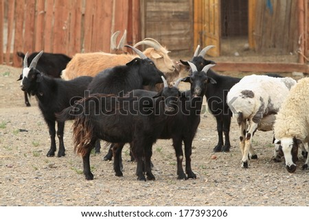 Goats and Sheeps